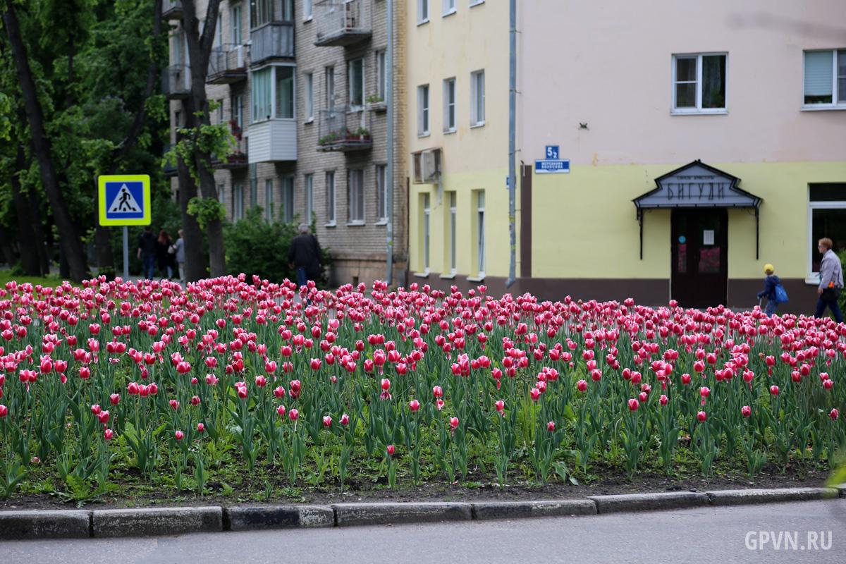 Тюльпаны в Великом Новгороде