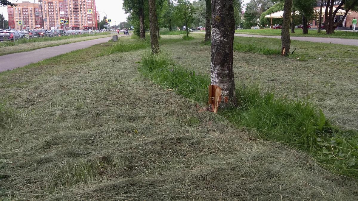 Пострадавшие деревья