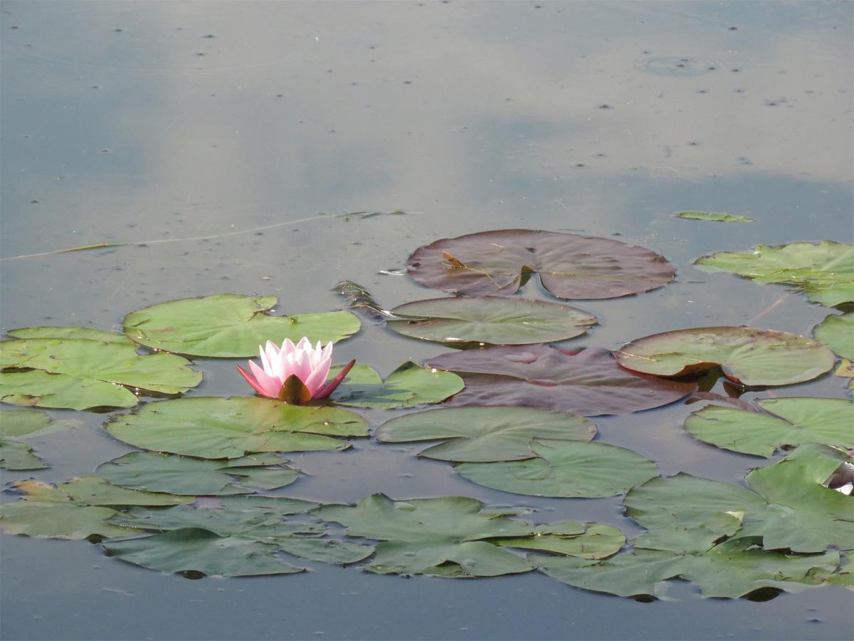 Лилия на пруду