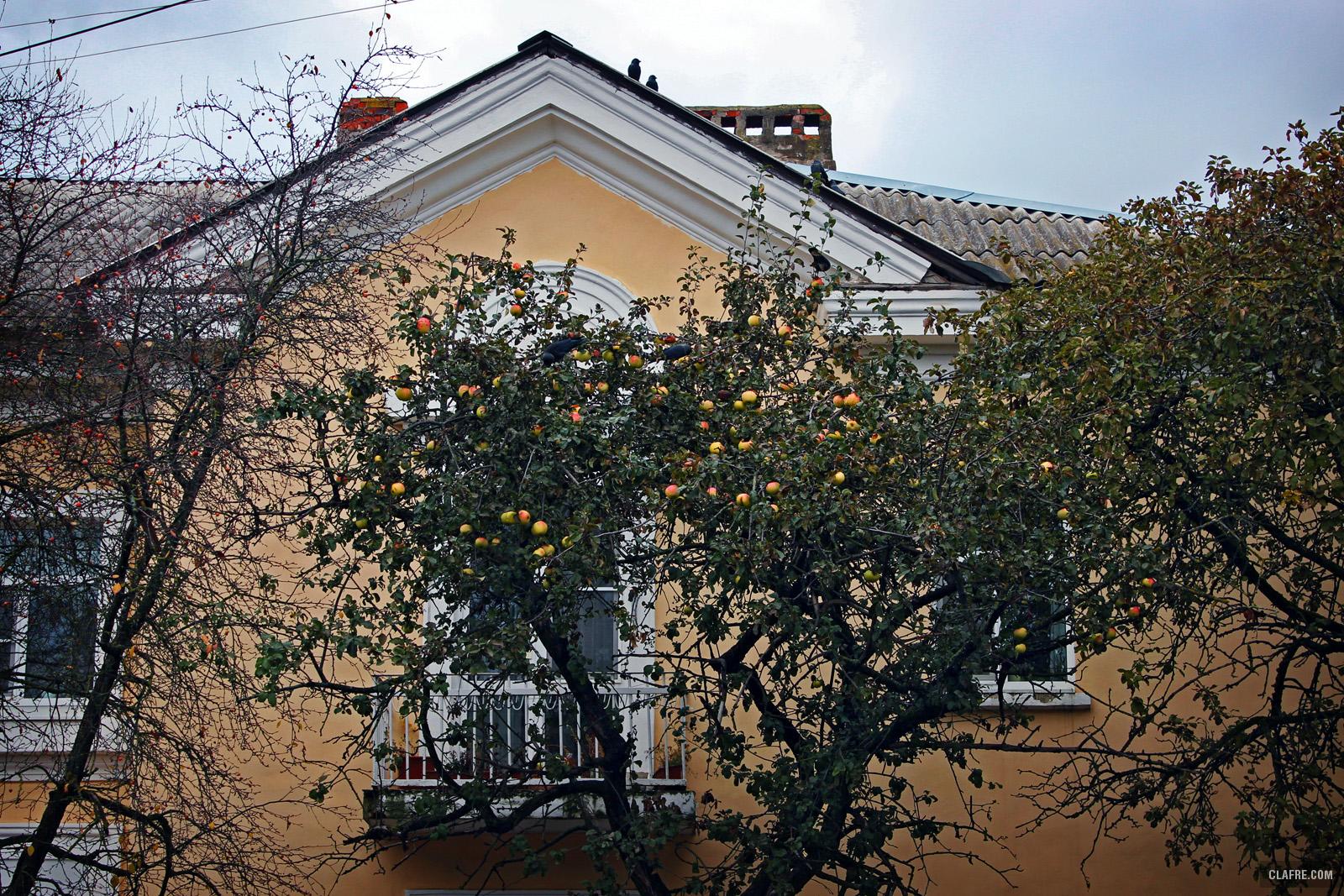 Яблони на Ильине улице в Великом Новгороде
